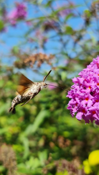 Taubenschwänzchen, Schmetterling, Schwärmer, Garten, Sommerflieder, Kolibri, Nektar, Tagflug