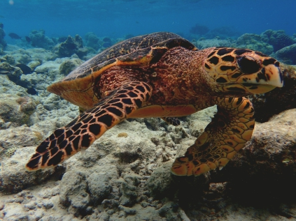 Vilamendhoo, Malediven, Hawksbill Turtle, Karettschildkröte