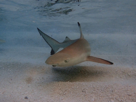 Vilamendhoo, Malediven, Schwarzspitzenriffhai