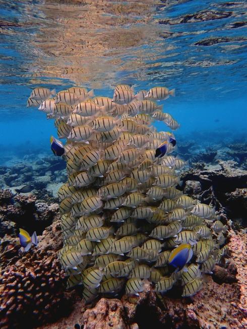 Vilamendhoo, Malediven,, Doktorfische