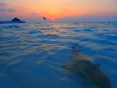 Vilamendhoo, Malediven, Sunrise, Schwarzspitzenriffhai, Reiher