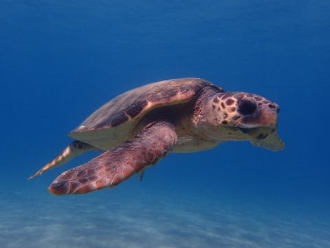 Echte Karettschildkröte, Zakynthos, Griechenland